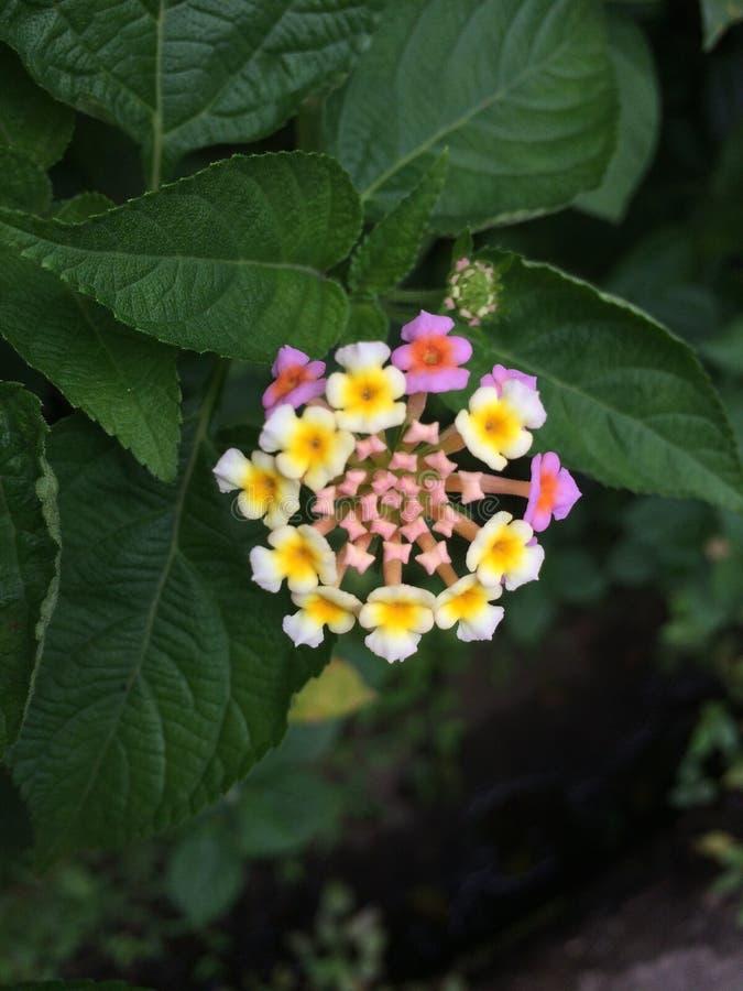 Fiori tropicali in fioritura, natura dello Sri Lanka immagine stock libera da diritti