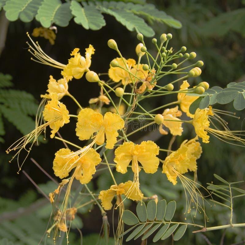 Fiori tropicali gialli fotografie stock libere da diritti