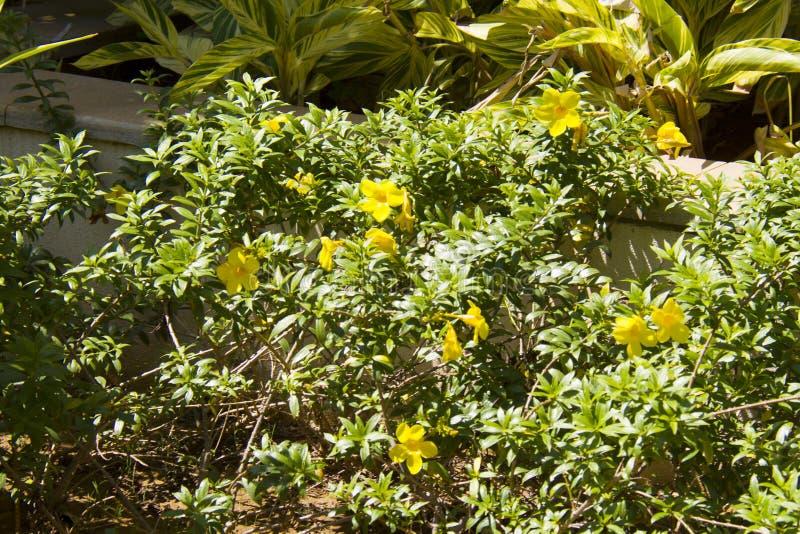 Fiori tropicali gialli nel giardino immagine stock