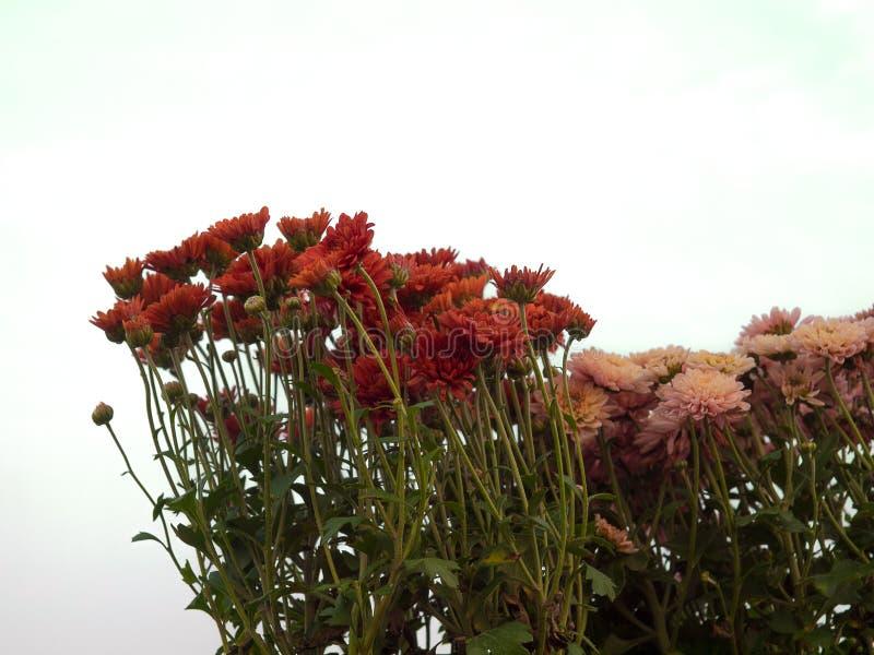 Fiori variopinti del crisantemo fotografia stock