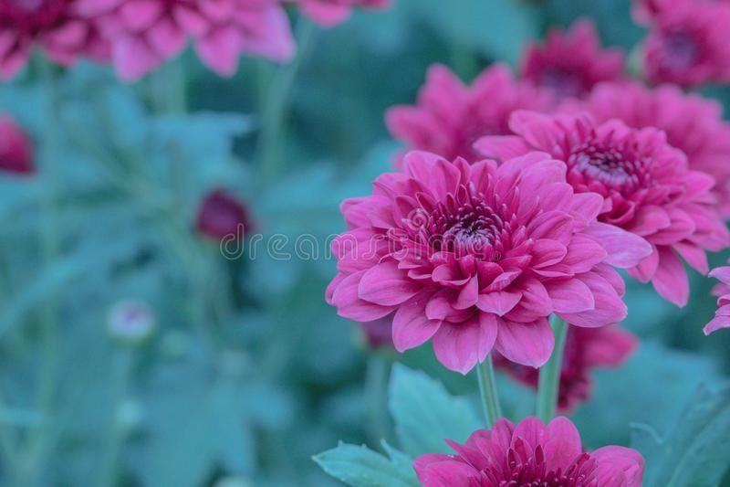 Fiori variopinti del crisantemo in un giardino Le mummie a volte chiamate fioriscono fotografie stock