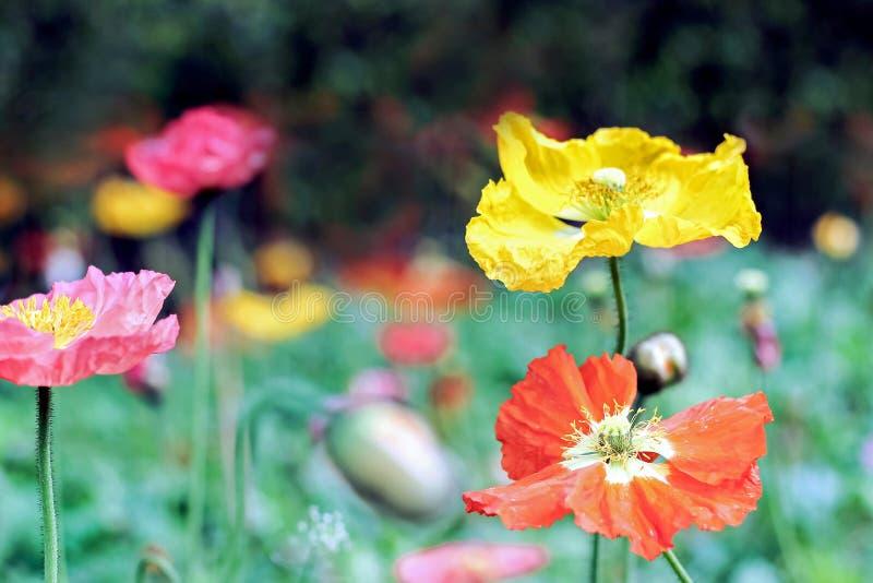 Fiori variopinti del papavero in giardino fotografia stock