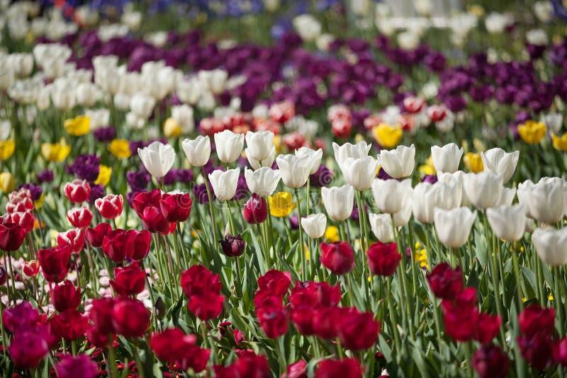 Fiori variopinti del tulipano immagine stock libera da diritti