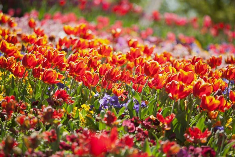 Fiori variopinti del tulipano fotografia stock libera da diritti