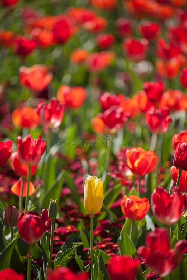 Fiori variopinti del tulipano immagini stock