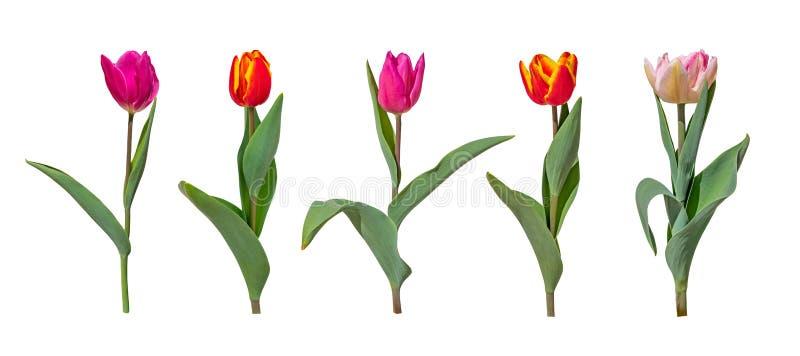 Fiori variopinti del tulipano isolati su fondo bianco fotografia stock