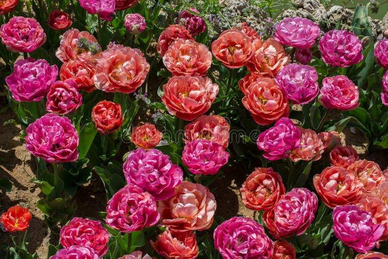 Fiori variopinti di fioritura del tulipano come fondo floreale immagine stock libera da diritti