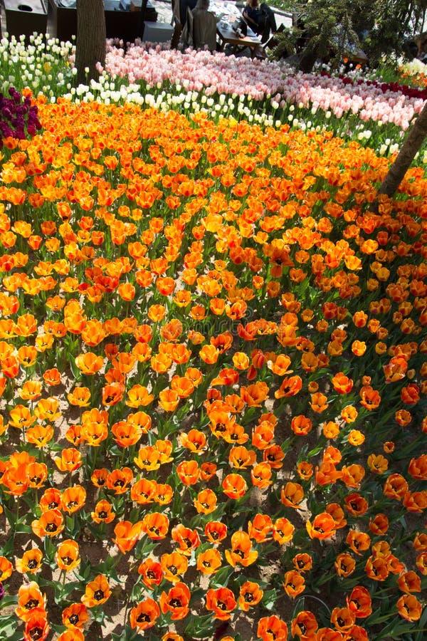 Fiori variopinti di fioritura del tulipano come fondo floreale fotografia stock libera da diritti