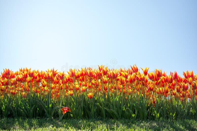 Fiori variopinti di fioritura del tulipano come fondo floreale immagine stock