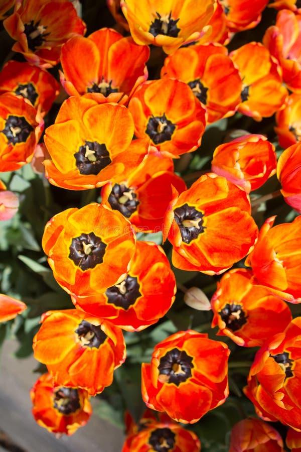 Fiori variopinti di fioritura del tulipano come fondo floreale fotografie stock