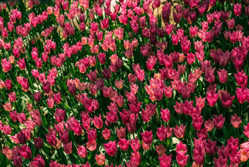 Fiori variopinti di fioritura del tulipano come fondo floreale fotografia stock