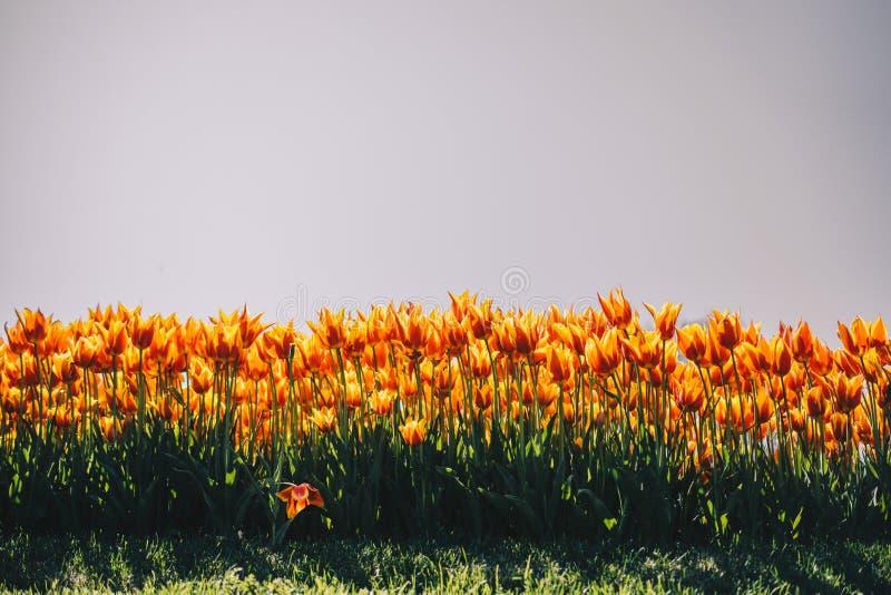 Fiori variopinti di fioritura del tulipano come fondo floreale immagini stock libere da diritti