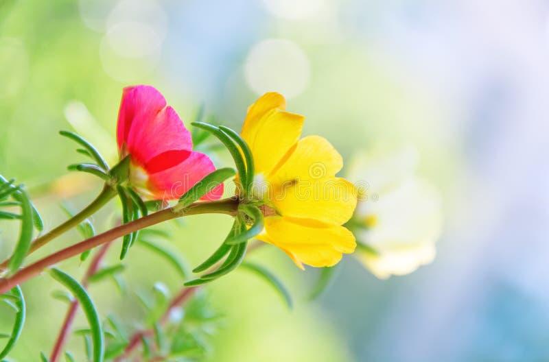 Fiori variopinti di Portulaca con un piccolo insetto che si siede in fiore giallo nel giardino Primo piano fotografia stock libera da diritti