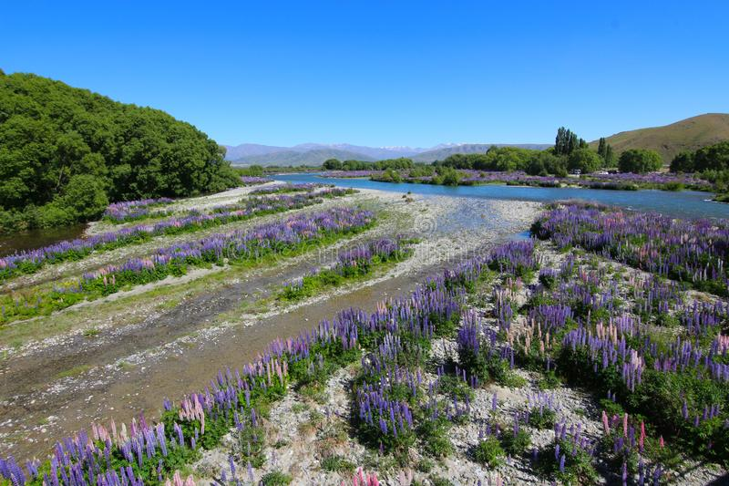 Fiori variopinti Polyphyllus del lupinus, Nuova Zelanda fotografia stock libera da diritti