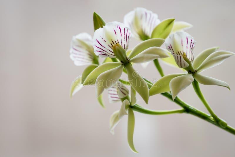 Fiori verdi retroilluminati dell'orchidea su fondo beige fotografia stock
