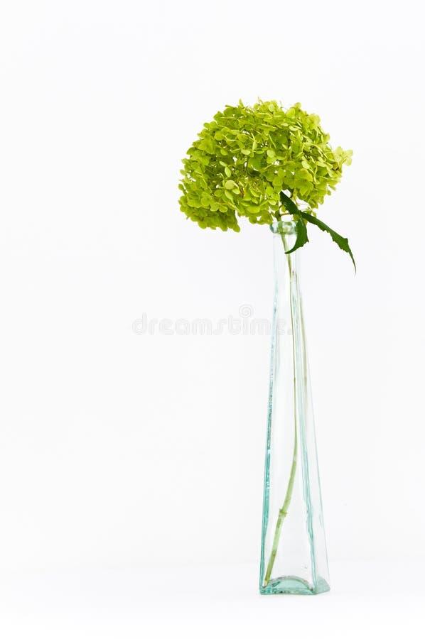 Fiori verdi secchi di hortensia (hydrangea) fotografie stock libere da diritti
