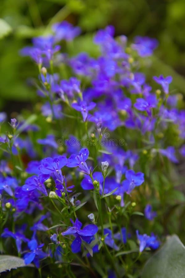 Fiori viola blu dello zaffiro di erinus di Lobelia o Lobelia di bordo fotografia stock