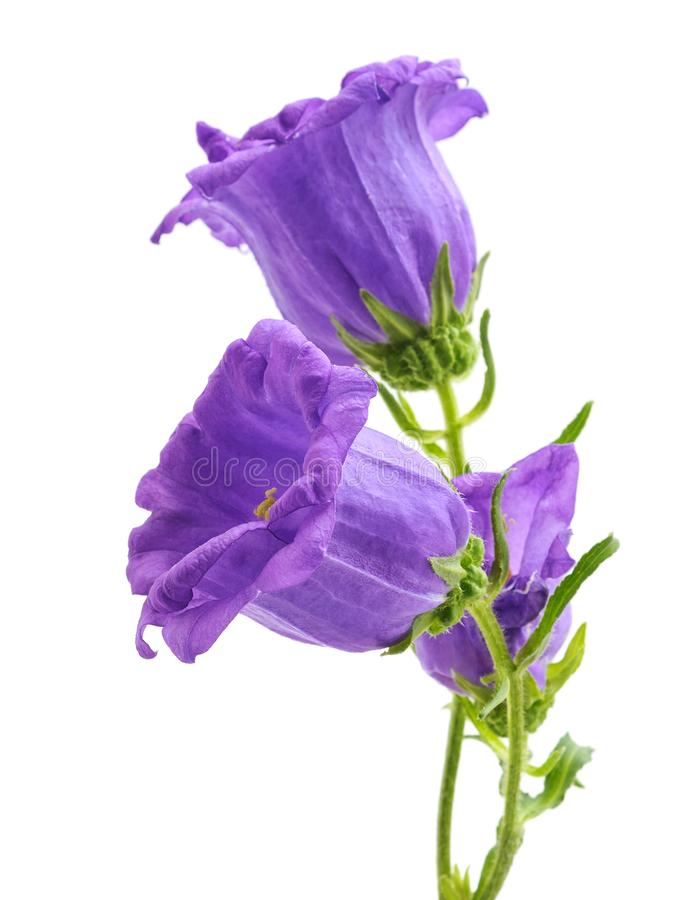 Fiori viola del Foxglove fotografie stock libere da diritti