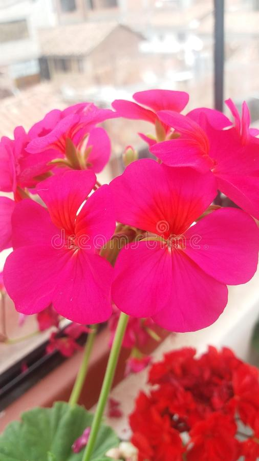 Fiori viola del mio giardino fotografie stock libere da diritti