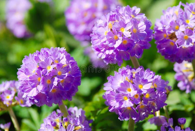 Fiori viola del primula nel giardino fotografia stock - Il sole nel giardino ...