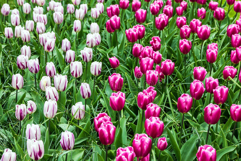 Fiori viola del tulipano P! arca Keukenhof, giardino in Olanda immagini stock