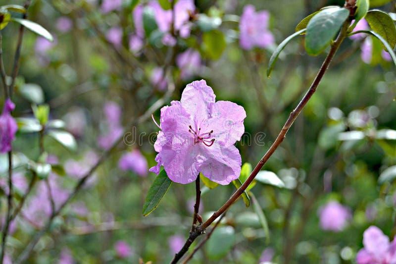 Fiori viola delicati, arbusti Colori pastelli, fondo confuso fotografie stock