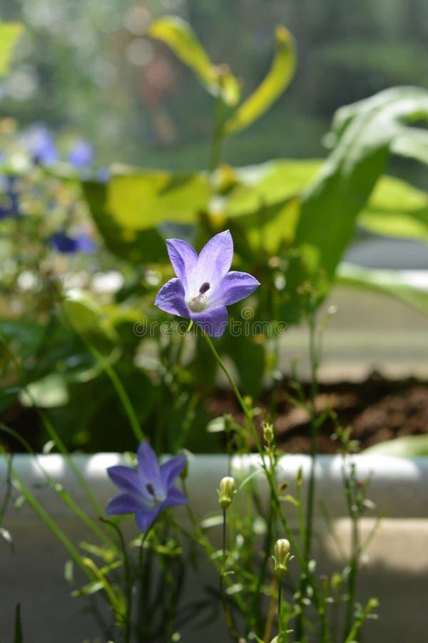 Fiori viola delicati del bellflower su sfondo naturale vago Inverdimento del balcone fotografia stock