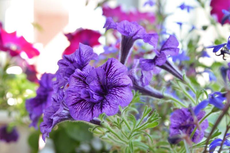 Fiori viola della petunia in piccolo giardino nella casa Inverdimento del balcone fotografia stock libera da diritti