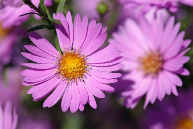Fiori viola di autunno fotografia stock