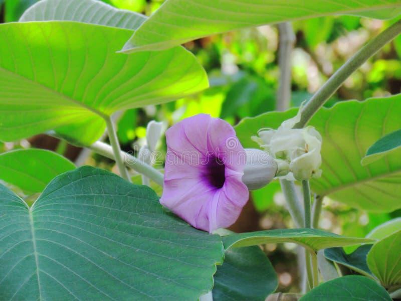 Fiori viola di Baby Rose, Elephant Climber, Elephant Creeper o Silver Morning Glory, fioriscono tra le foglie verdi fotografia stock