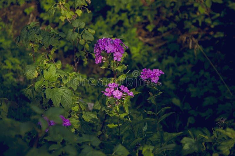 Fiori viola di rosa selvaggio nella foresta immagine stock libera da diritti
