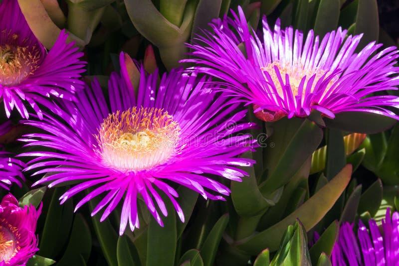 Fiori viola e foglie verdi spesse del carpobrotus Il Carpobrotus edulis ? una pianta commestibile e medicinale succulents immagini stock libere da diritti