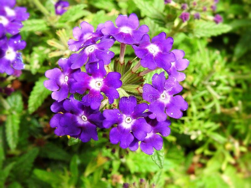 Fiori viola in giardino, Lituania immagini stock libere da diritti
