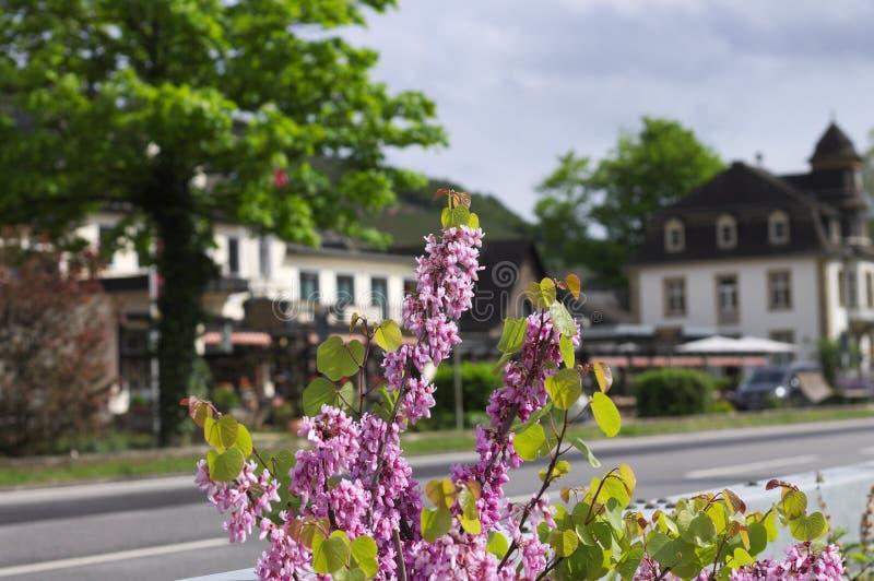 Fiori viola lilla della siringa - angiosperma - famiglia Germania di oleaceae immagine stock libera da diritti