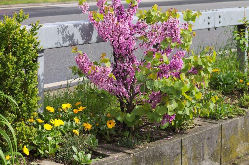 Fiori viola lilla della siringa - angiosperma - famiglia Germania di oleaceae immagini stock