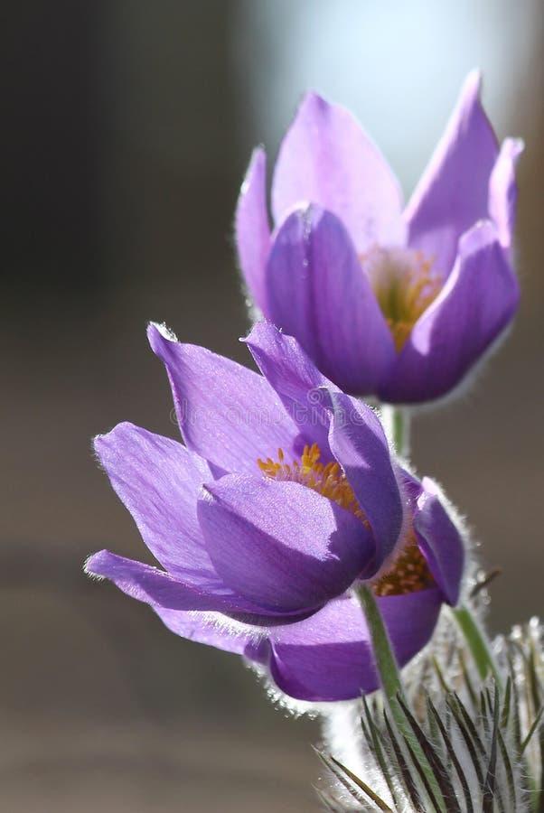 Fiori viola nella foresta immagine stock