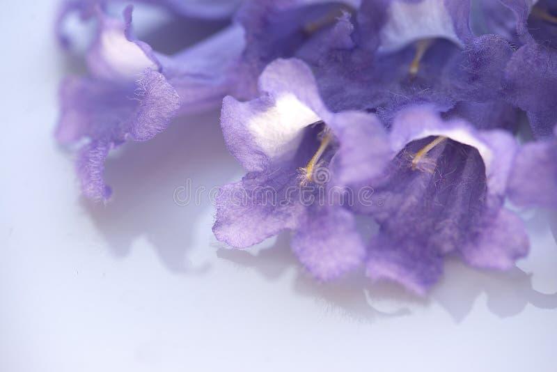 Fiori viola primo piano porpora dei fiori del Jacaranda del macro immagine stock libera da diritti