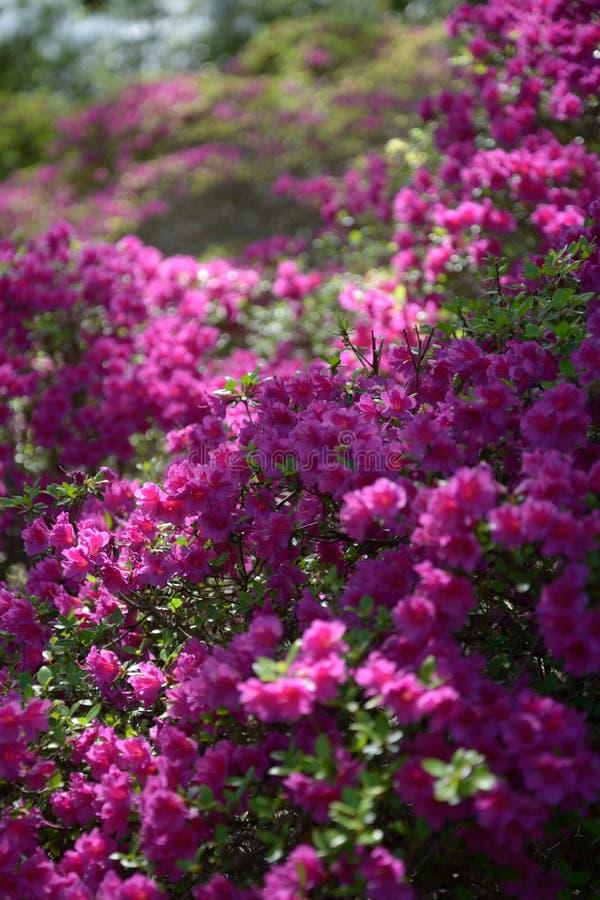 Fiori viola sboccianti in primavera in giardino botanico fotografia stock