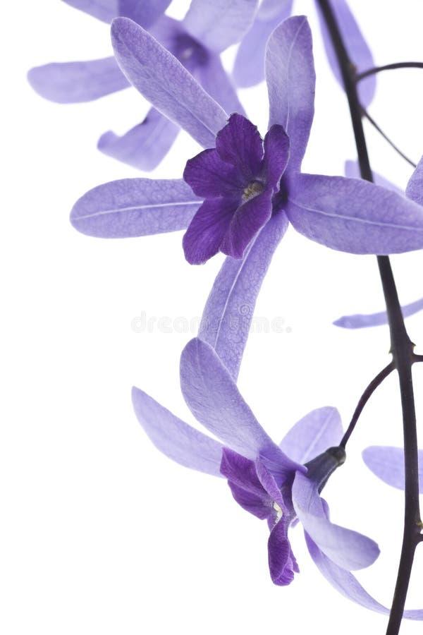 Fiori viola su priorità bassa bianca fotografia stock