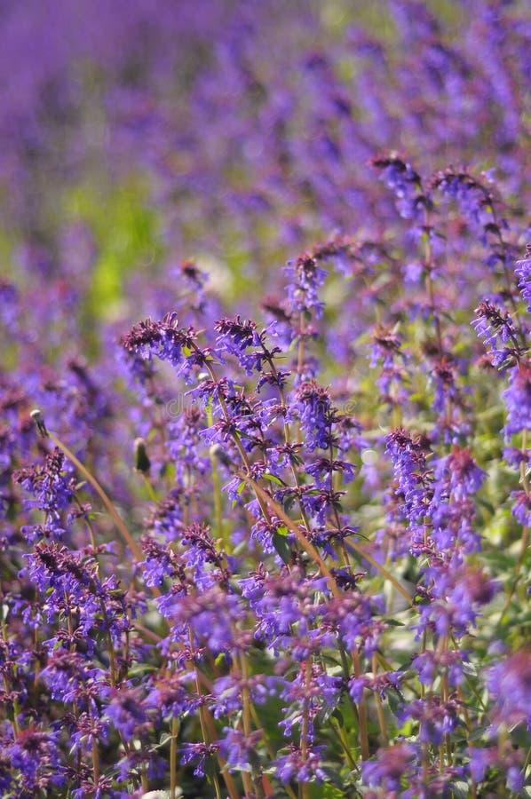 Download Fiori viola sul campo fotografia stock. Immagine di pianta - 56884004