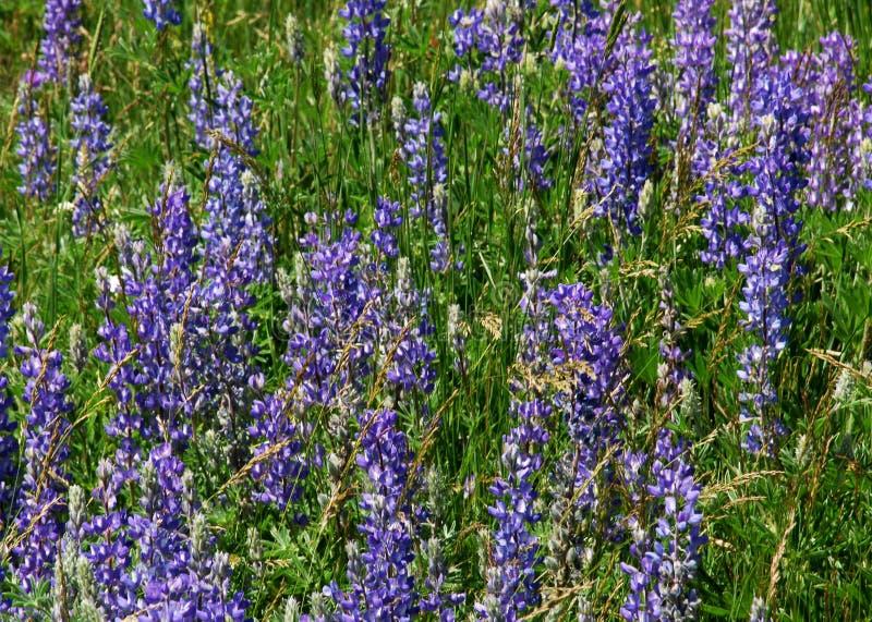 fiori viola sulla prateria fotografia stock
