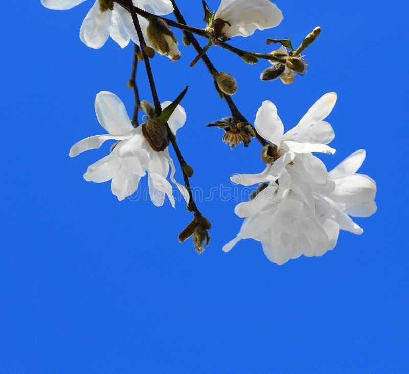 Fiori vistosi e bei di stellata della magnolia su fondo blu immagini stock