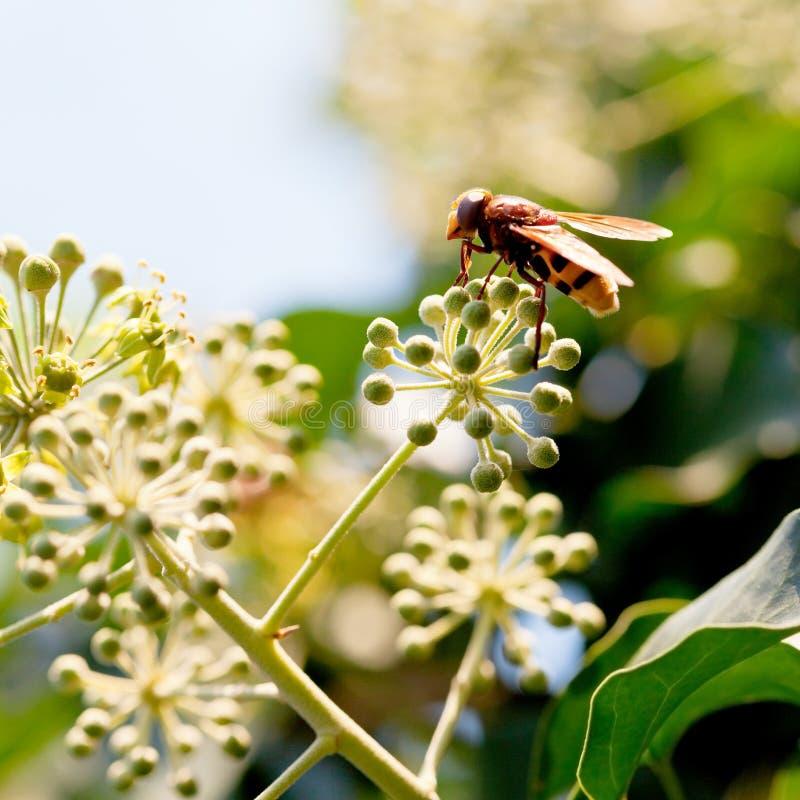 Fiorisca i inanis di volucella della mosca sui fiori dell'edera fotografia stock