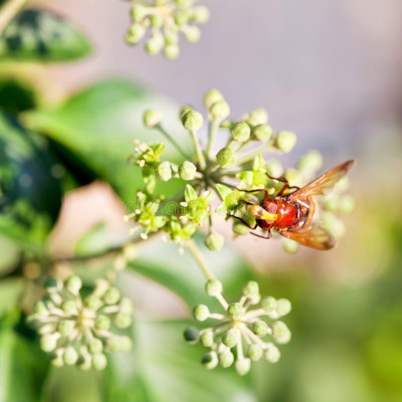 Fiorisca i inanis di volucella della mosca sui fiori dell'edera fotografie stock
