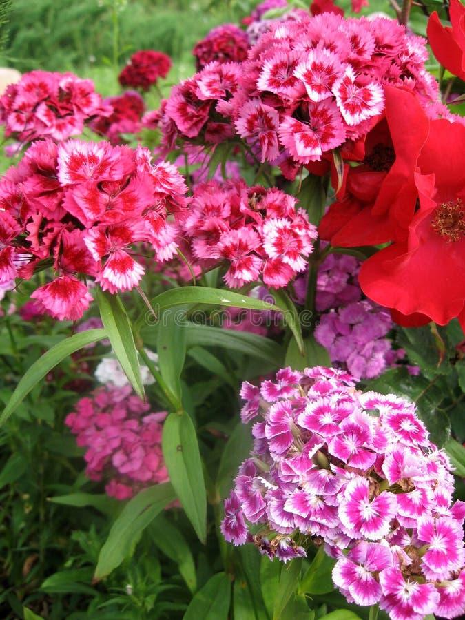 Fiorisca i turco del garofano, il barbatus del Dianthus, alcuni garofani variopinti turchi di fioritura sui precedenti vaghi dell fotografia stock libera da diritti