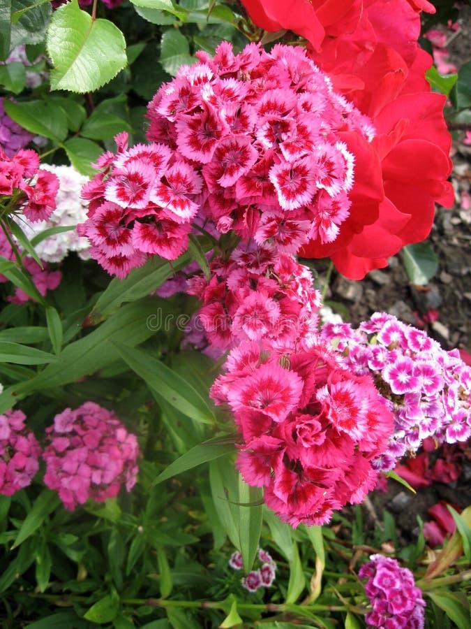 Fiorisca i turco del garofano, il barbatus del Dianthus, alcuni garofani variopinti turchi di fioritura sui precedenti vaghi dell immagine stock