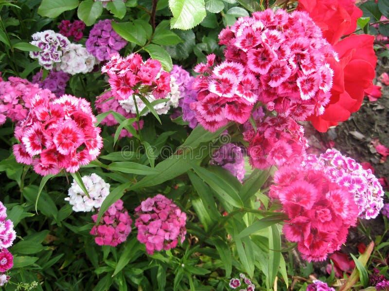 Fiorisca i turco del garofano, il barbatus del Dianthus, alcuni garofani variopinti turchi di fioritura sui precedenti vaghi dell immagini stock libere da diritti