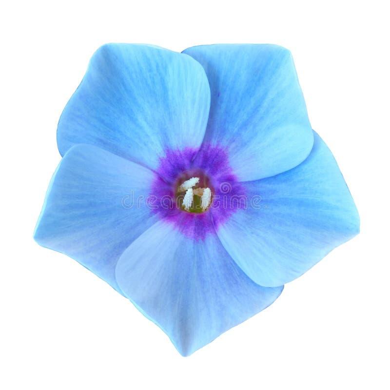 Fiorisca il ciano flox lilla isolato su fondo bianco Primo piano immagini stock