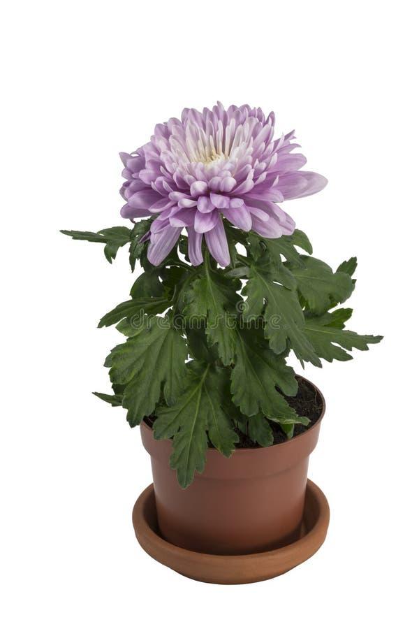 Fiorisca il crisantemo porpora in un vaso su fondo bianco fotografie stock libere da diritti