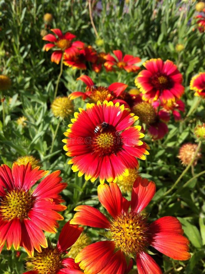 Fiorisca il fondo porpora della natura dell'ape di verde giallo di rossi carmini bello immagine stock libera da diritti